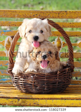 Two puppies in basket - stock photo