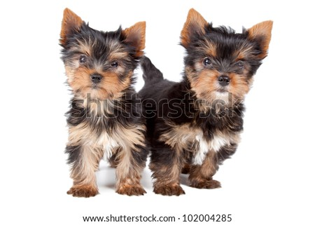 Two puppies looking at camera on a white background. - stock photo