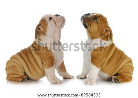 two puppies looking up - english bulldog puppies sitting looking upward - stock photo