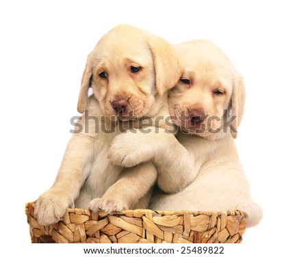 Two puppies of breed Labrador a retriever in a basket. Puppies on a white background. - stock photo