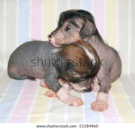 Two puppies of breed the Chinese crested dog on striped background. Shallow DOF - stock photo