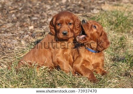 Two puppies of Irish Red Setter - stock photo