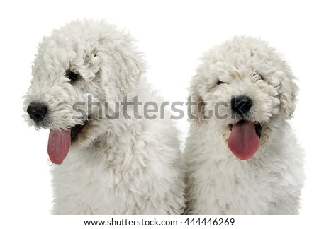 Two puppy komondors portait in white studio - stock photo