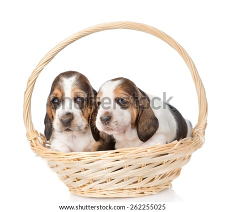 Two puppy sitting in basket. isolated on white background - stock photo