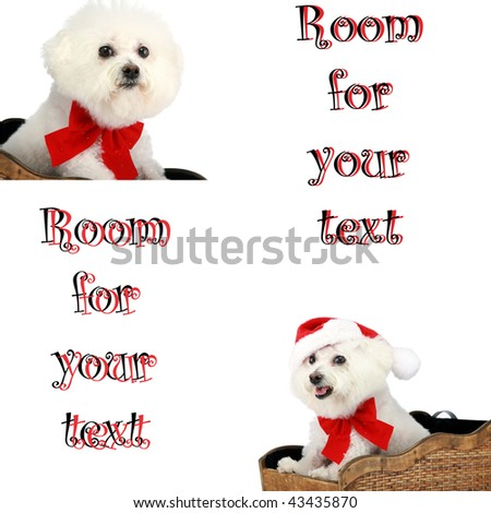 """two pure breed """"Bichon Frise"""" with a red bow, """"isolated on white"""" with """"room for your text"""" - stock photo"""