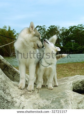Two pure breed siberian husky puppies standing on a rock - stock photo