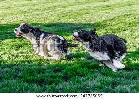 Two purebred black and white English Springer Spaniels at play chasing one another and wrestling