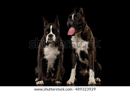 Two Purebred Boxer Dogs Brown with White Fur Color Sitting Isolated on Black Background