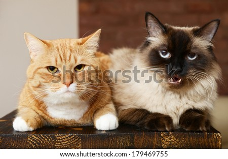 two purebred cat close up  - stock photo