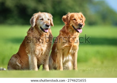 Two purebred Golden Retriever dogs outdoors on a sunny summer day. - stock photo