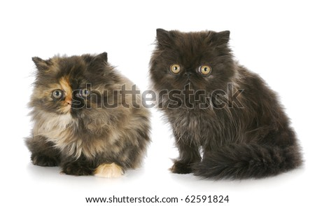two purebred persian kittens with reflection on white background - stock photo