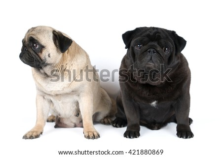 Two purebred pugs portrait isolated on white