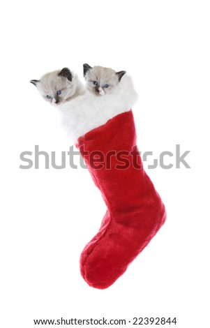 Two purebred, Snowshoe Lynx-point Siamese kittens in a Christmas stocking. - stock photo