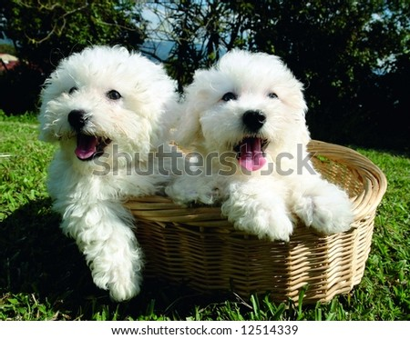 Two purebreed bichon frise puppies in a basket - stock photo