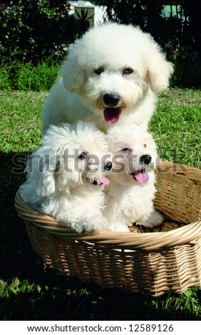 Two purebreed bichon frise puppies with their mother