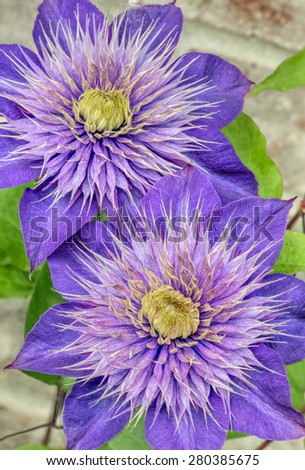 Two purple clematis flowers bloom in the spring. - stock photo