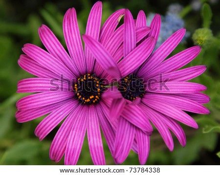 Two purple daisies grown together in the garden