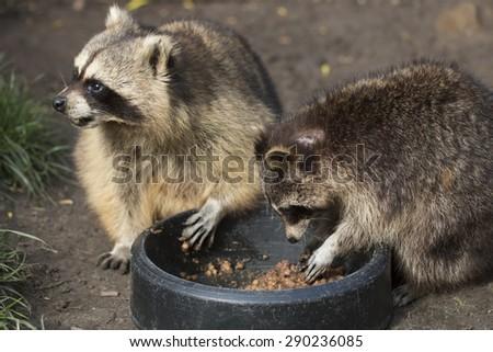 Two raccoons eating - stock photo
