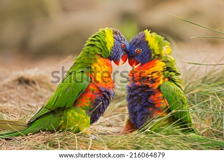 Two rainbow lorikeets (Trichoglossus haematodus Moluccanus) fighting - stock photo