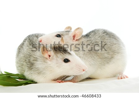 Two rats of a white background