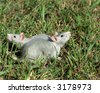 two rats on the grass looking at the opposite sides - stock photo