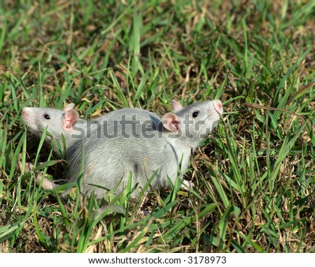 two rats on the grass looking at the opposite sides