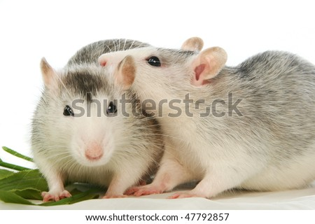 Two rats on the white background - stock photo