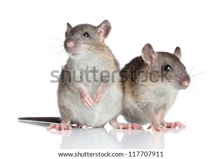 Two rats posing on a white background - stock photo