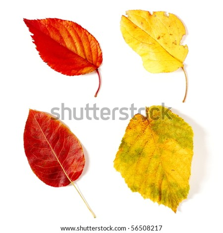 Two red and two yellow autumnal leaves on white background - stock photo