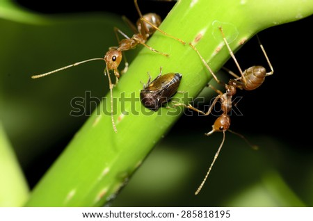 Two red ant and one insect - stock photo