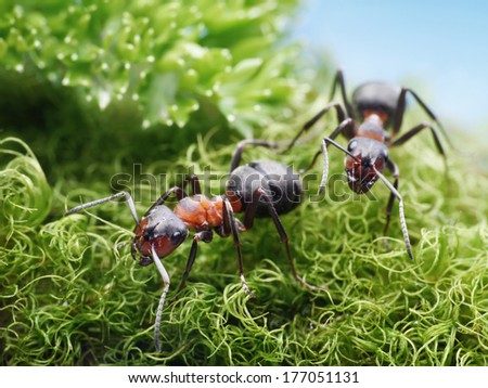 two red ants formica rufa on go - stock photo