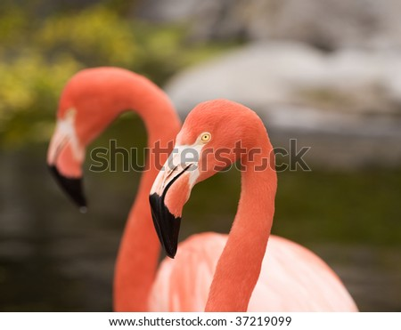 Two Red Caribbean flamingos, close up shot. - stock photo