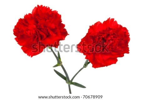 two red carnations on a white background