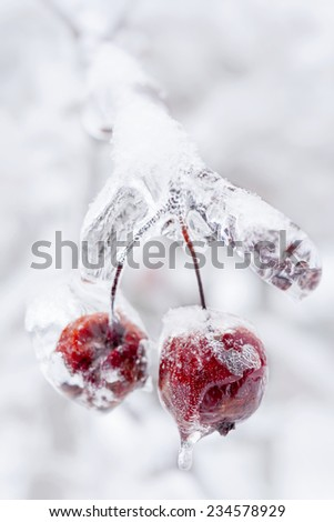 Two red crab apples frozen and covered with ice on snowy branch in winter, close up - stock photo
