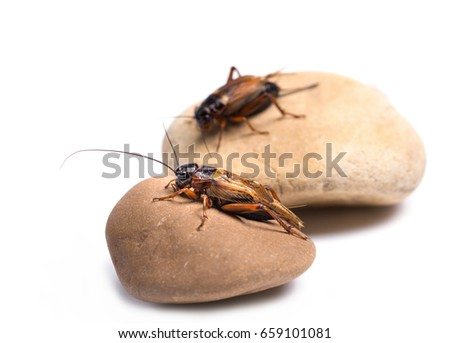 Two red cricket on the rock on a white background(selective focus)