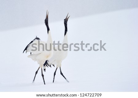 Two Red-crowned Cranes in courtship dancing. - stock photo
