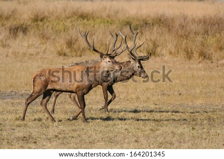Two red deer males - stock photo