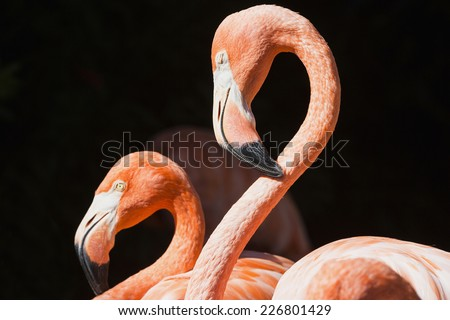 Two red flamingos with black background, Florida
