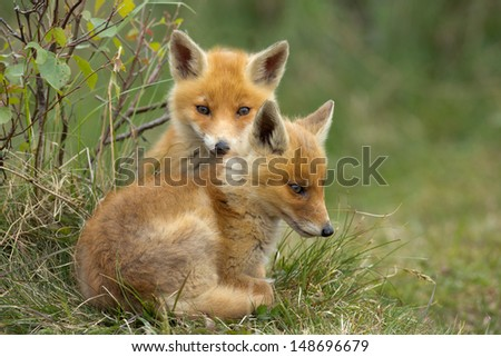 Two Red fox Cubs cuddling  - stock photo