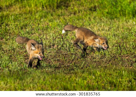 Two Red Fox Kits (Vulpes vulpes) Run Through the Grass - captive animals - stock photo