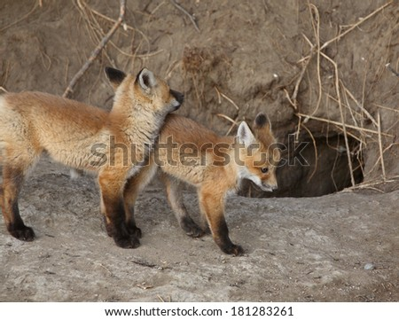 Two Red Fox pups outside their den - stock photo