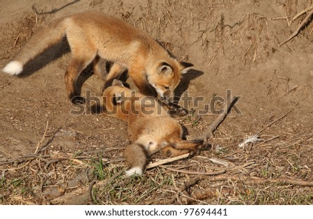 Two Red Fox pups playing outside their den - stock photo