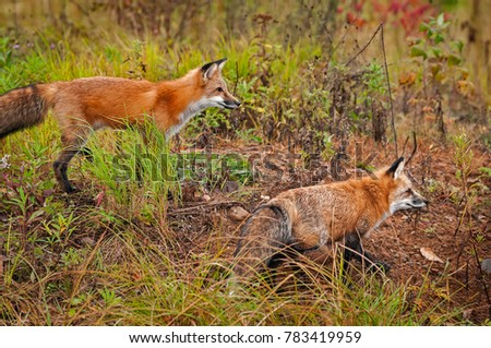 Two Red Fox (Vulpes vulpes) Move Right - captive animals