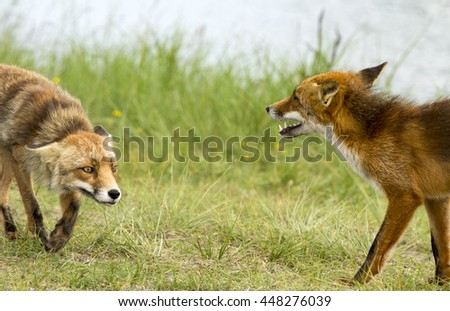 Two Red Foxes Having an Argument