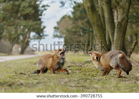 Two red foxes in a confrontation  - stock photo