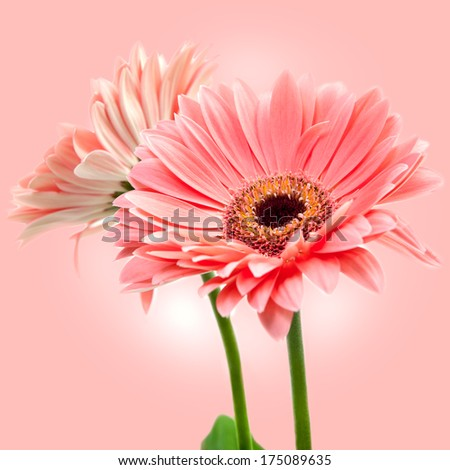 Two red Gerber flowers on pink background.