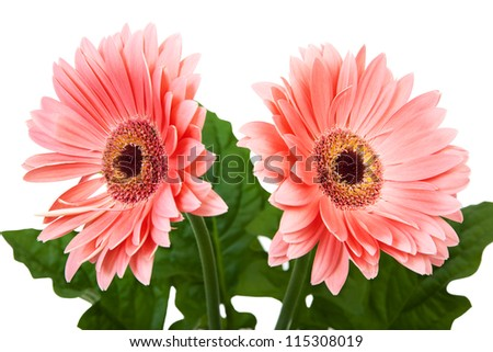Two red gerbera flower isolated on white background. - stock photo