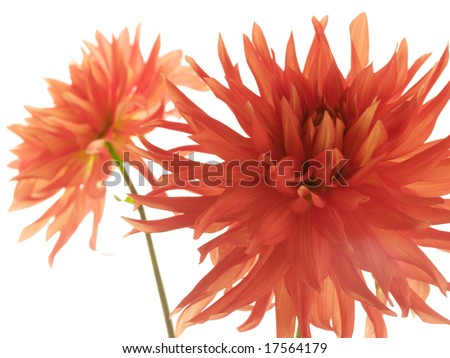 Two red isolated dahlias