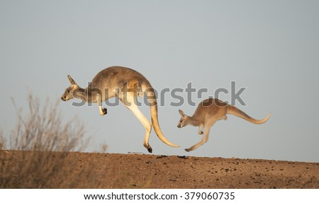 Two red kangaroos in the desert of outback Australia