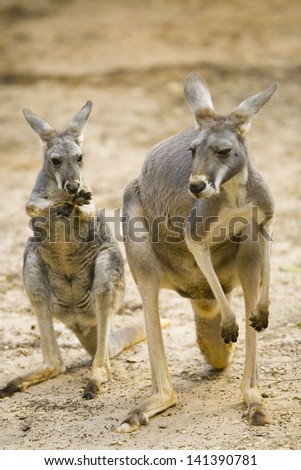 Two Red Kangaroos with big tails, long hind legs and short arms. - stock photo